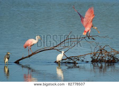 Roseate Spoonbills At Ding Darling National Wildlife Refuge