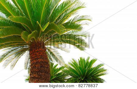 Greem Leaves Of Cycad Plam Tree Plant Isolated White Background Use For Garden And Park Decorated