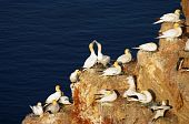 Helgoland - German island in the North sea, sea birds gannets nesting poster