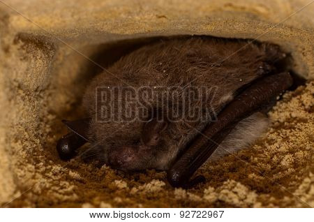 Hibernating Bat
