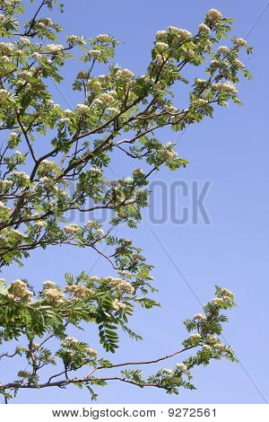 Flowering Mountain Ash