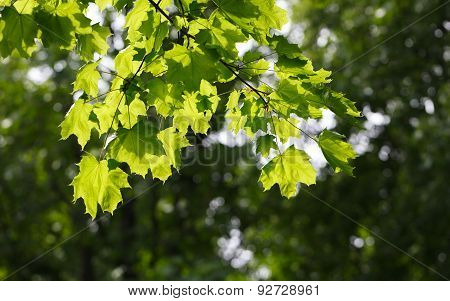 Bright Sun On Leaves Of Maple