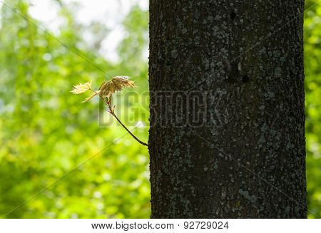 Sprout On Old Trunk