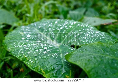 Big tropical green colocasia leaf with water or rain droplets in a lush jungle in Hawaii. poster