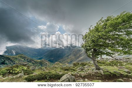 A Windswept Tree On A Mountain Ridge On The Gr20 In Corsica