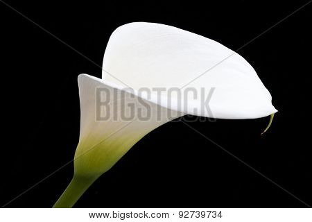 White Arum Lily Leaning Across Black Frame