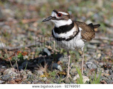 Killdeer Closeup - Charadrius vociferus