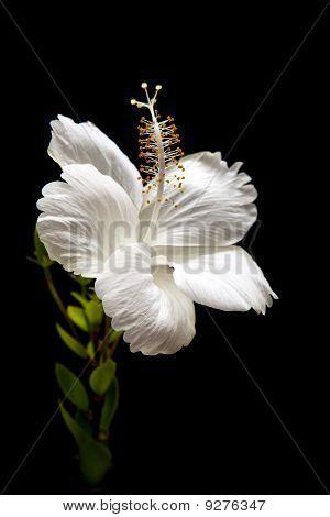 White Hibiscus On Black Background