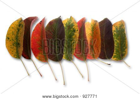 Collection Of Perfect Autumnal Leaf, Displaying A Range Of Warm Tones