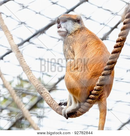 Monkey On Rope In Zoo