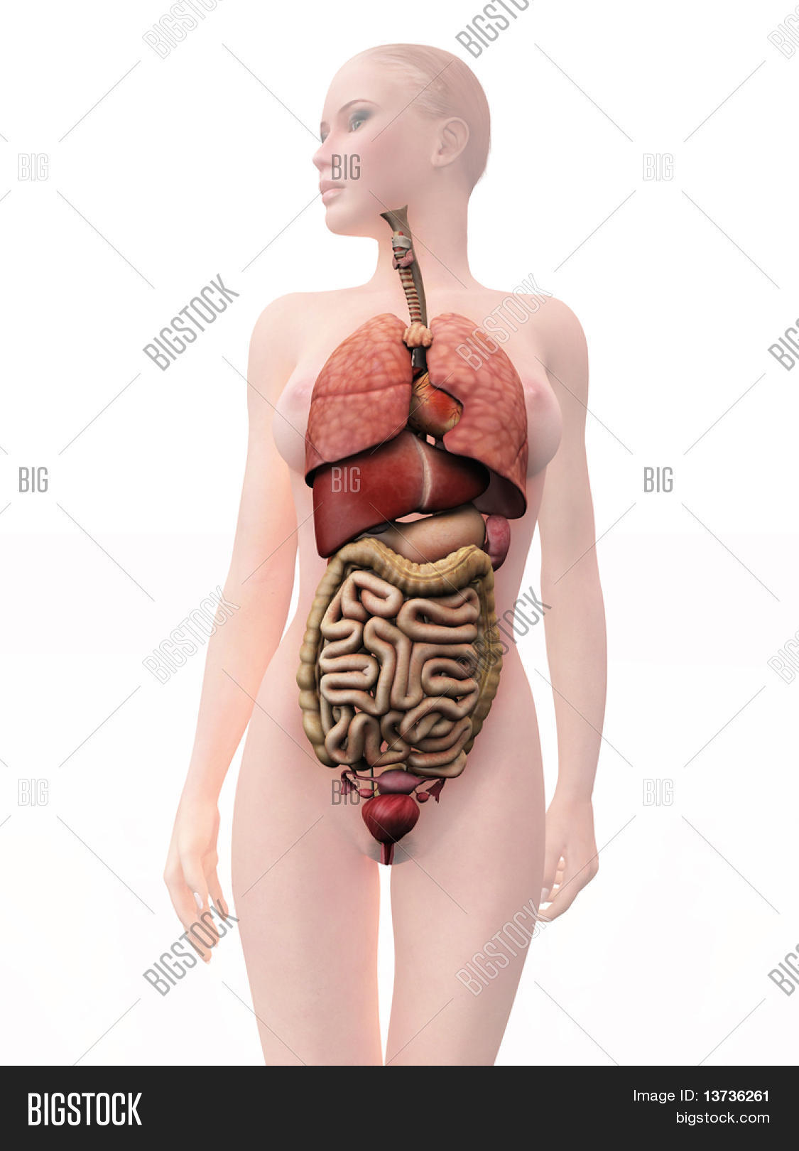 Internal Human Organs Image Photo Free Trial Bigstock