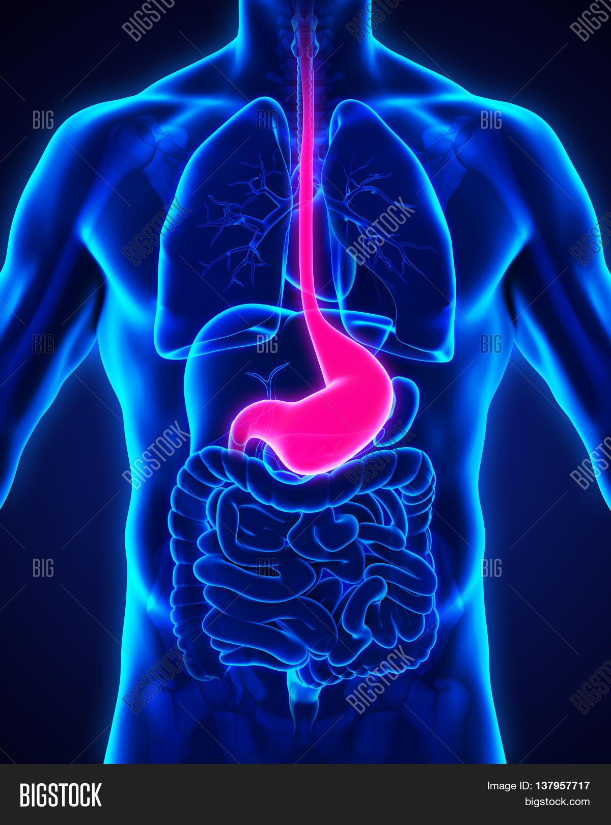 Human Stomach Anatomy Image Photo Free Trial Bigstock