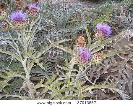 CARDO, planta de 1,5 m aproximadamente, comestible con flores bellas y troncos espinosos.