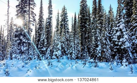 White Snow Covered Forest with Sunrise Background