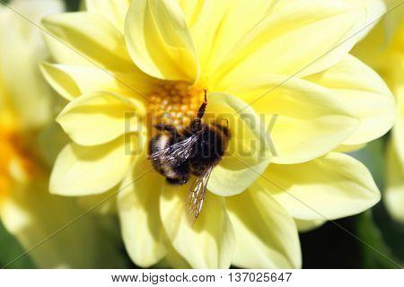 A Bumblebee on a Yellow Dahlia Flower