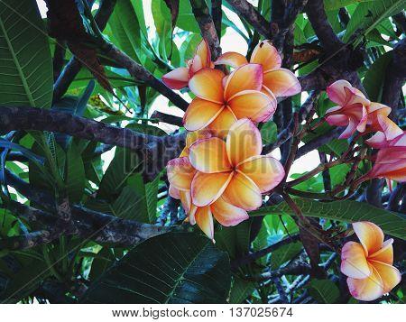 Чудесный цветок фаранджипани растет по всему городу