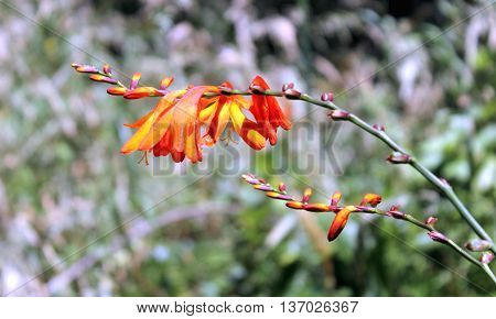 Flowering Crocosmia hybrid growing in New Zealand
