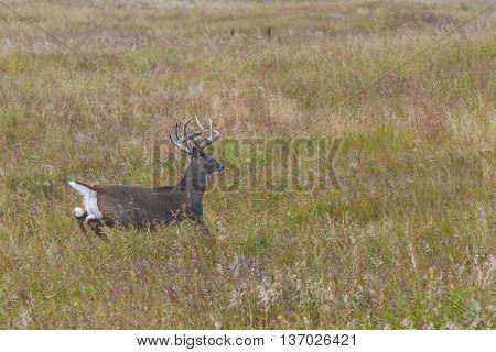 A Whitetail Deer running across the prairie in North Dakota