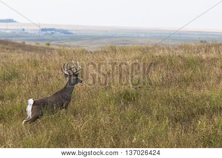 A large Buck running across the prairie in North Dakota