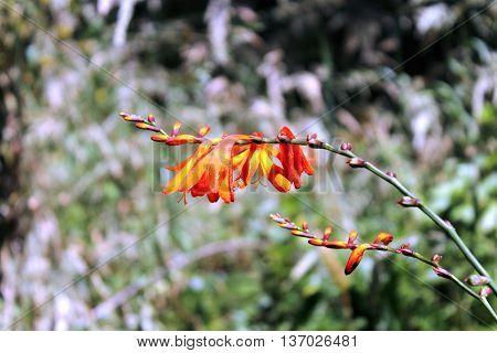 Flowering Crocosmia hybrid growing in New Zealand.