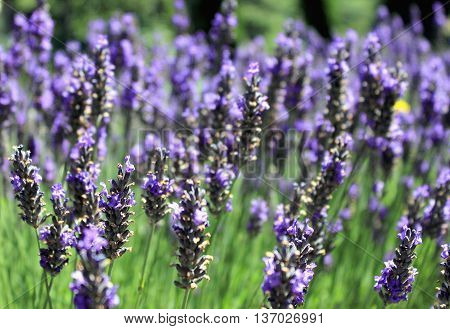 A fragrant Lavender Field on a summer's day