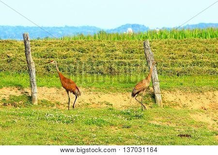 sand hill crane mating pair Wisconsin wildlife