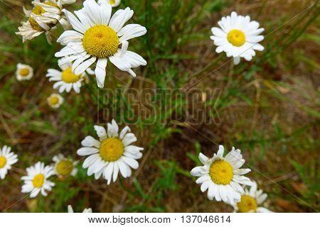 Wild daisies blooming along the Lochsa River in the northern Panhandle area of Idaho.