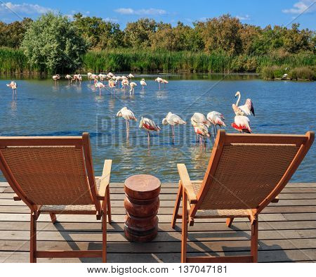 Comfortable lounge chairs on wooden platform for rest and  birdwatching. Flock of pink flamingos in the shallow lake.  Park Camargue in delta of Rhone