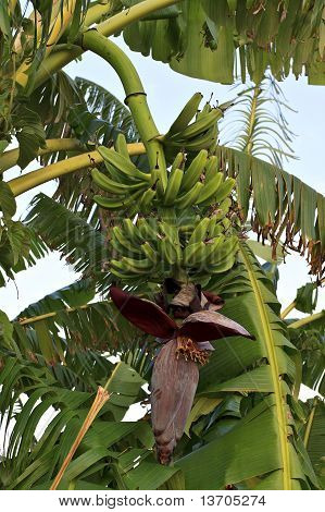 Banana Tree Branch With Fruit's Bunch