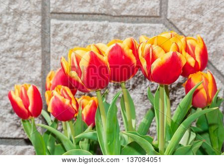 Beautiful Tulips On The Wall Background.