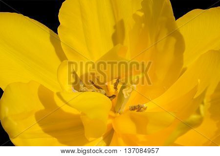 Tulip Anthers With Pollen Grains Of Yellow Tulip Flower.