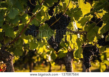 closeup of ripe pinot noir grapes on vine