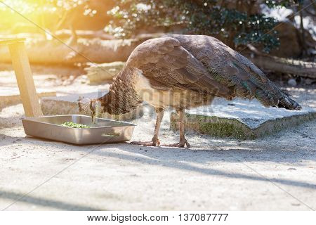 Common Peafowl Male Eating Food In Box.