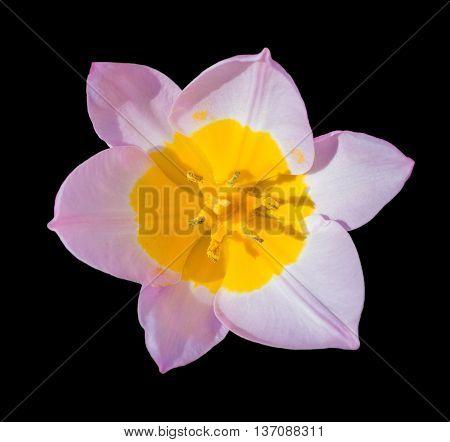 Beautiful Tulip Flower Isolated On Black