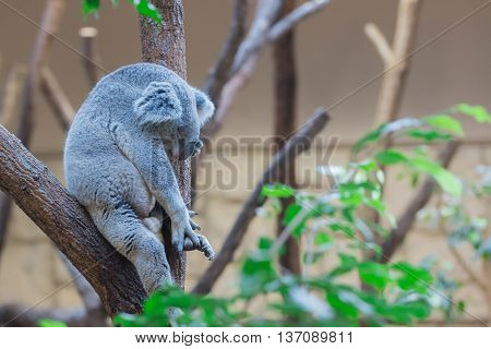Koala Bear Sleeping On Tree In Forest.