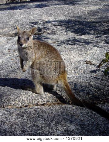 Rock Wallaby2