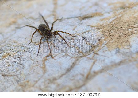 Eight legged brown wolf-spider on a rock close-up