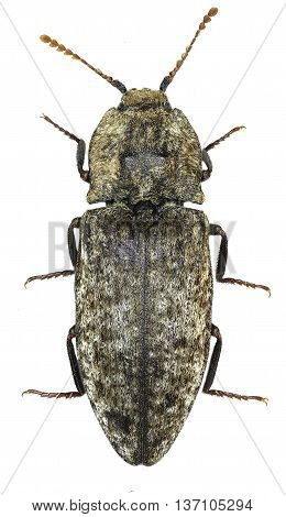Mousegrey Click Beetle on white Background  -  Agrypnus murina (Linnaeus, 1758)
