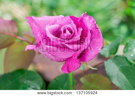 Closeup of violet garden rose with water droplets after rain