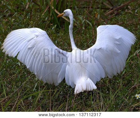 back view of breeding intermediate egret with spread wings, grassy marsh near Thale Noi, Thailand