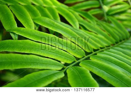 Giant Fern leaves, Angiopteris evecta, Family Marattiaceae, Central of Thailand