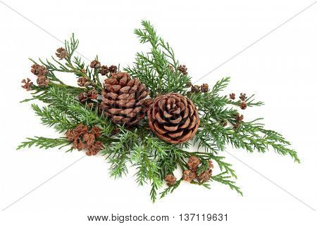 Winter fauna greenery with cedar cypress and fir with pine cones over white background.