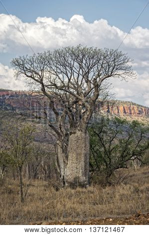 Baobab at the Kimberley Region