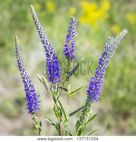 Wild flower Veronica ( Latin name Veronica longifolia). Flowers large