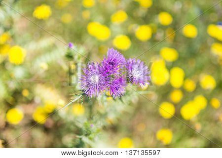 Blooming thistle and beautiful wildflowers on the hillside in the foothills of the Ida mountains on Crete. The meadow, full of blooming flowers, is a habitat for all the insects, butterflies, bumblebees in the mountains