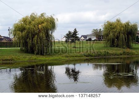 Weeping willow trees (Salix sp.) grow next to a small lake in Shorewood, Illinois.