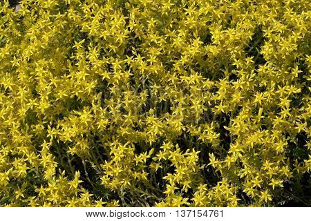 nice small yellow flowers in the garden