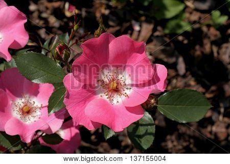 nice pink wild rose in the garden