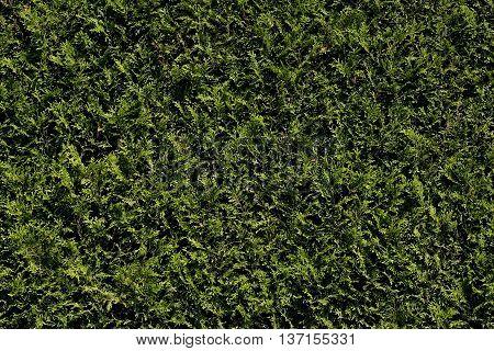 original green hedge thuja in the garden