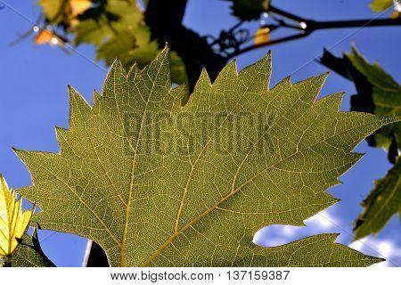 expressive texture of the green leaf grapes